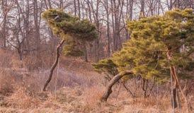 Вечнозеленые деревья перед лиственным лесом Стоковое Фото