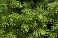 вечнозеленые иглы Стоковые Изображения