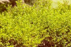 Вечнозеленые изгороди в природе Стоковые Фотографии RF