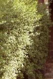 Вечнозеленые изгороди в природе Стоковое Фото