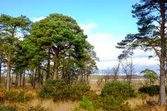 Вечнозеленые сен дерева с голубым небом Стоковое Изображение RF