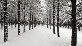 Вечнозеленый лес в зиме стоковое изображение rf