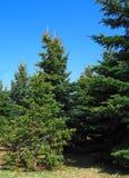 Вечнозеленый лес рождественских елок и голубое небо стоковое изображение rf