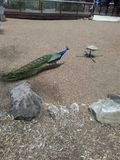 Вечнозеленый любовник павлина птицы стоковое изображение