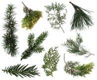 Вечнозелёное растение разветвляет собрание Стоковые Изображения