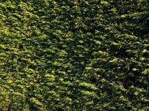 Вечнозелёное растение Стоковые Фотографии RF