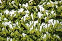 Вечнозеленая предпосылка hegde туи в зиме с снегом Стоковая Фотография