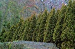 Вечнозеленая стена Стоковые Изображения