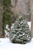 Вечнозеленое дерево стоковые фото