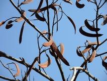 Вечнозеленое дерево carob Стоковая Фотография RF