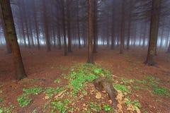 Вечнозеленый лес в тумане стоковое изображение