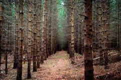 Вечнозеленый лес с исчезая пунктом в цвете стоковая фотография