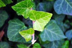 Вечнозеленый конец лист плюща вверх Стоковое Фото