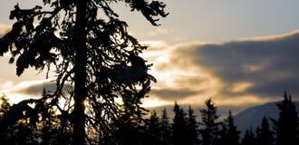 Вечнозеленый силуэт дерева Стоковые Фото