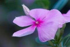 Вечнозеленый цветок барвинка - изображение запаса Стоковая Фотография
