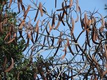 Вечнозеленый carob Стоковые Фото
