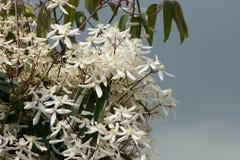 Вечнозеленый clematis Стоковые Фото