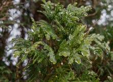 Вечнозелёное растение покрытое с льдом Стоковое Изображение