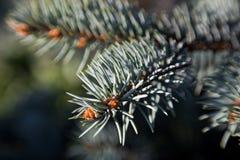Вечнозелёное растение разветвляет крупный план Стоковая Фотография RF