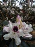 Вечнозелёное растение, цветение, рост, листва, ботаника, красота, милый, белая, бутон, природа, лист, внешние, флора, зеленый цве Стоковое фото RF
