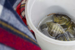 Ведерко Sunfish Стоковые Фотографии RF