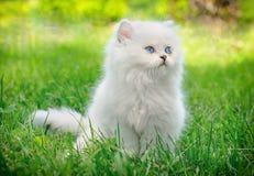 великобританская белизна котенка стоковые изображения rf