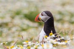 Великобританская морская птица тупика & x28; Arctica& x29 Fratercula; от острова Skomer, Стоковая Фотография RF