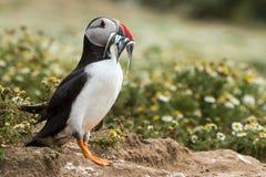 Великобританская морская птица тупика & x28; Arctica& x29 Fratercula; от острова Skomer, Стоковое Изображение RF