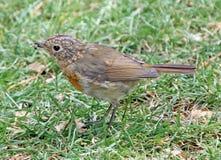 Великобританская птица робина младенца Стоковое Изображение