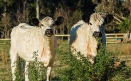 Великобританские белые скотины Стоковое фото RF