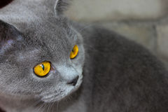 Великобританские глаза ` s кота стоковое изображение