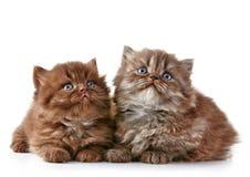 Великобританские длинные котята волос Стоковое Фото