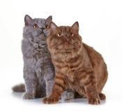 Великобританские длинные котята волос Стоковое фото RF