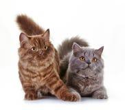 Великобританские длинные котята волос Стоковая Фотография RF