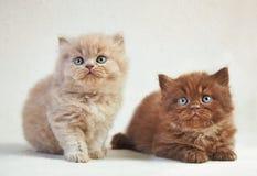 Великобританские длинные котята волос Стоковое Изображение