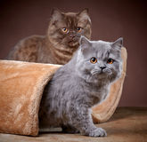 Великобританские longhair котята Стоковое фото RF