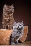 Великобританские longhair котята Стоковая Фотография RF