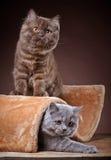 Великобританские longhair котята Стоковые Изображения RF