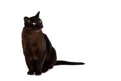 Великобританский бирманский кот Стоковое Фото