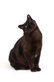 Великобританский бирманский кот Стоковые Изображения RF