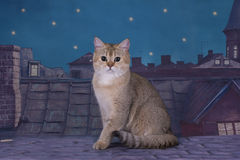 Великобританский золотой кот ждет невесту на крыше в m стоковая фотография rf