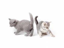 Великобританский играть котят Стоковые Фото