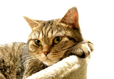 Великобританский изолированный портрет кота, стоковое изображение rf