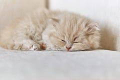 Великобританский длинный котенок волос спать на софе Стоковые Фото