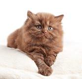 Великобританский длинный котенок волос Стоковая Фотография