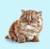 Великобританский длинный котенок волос стоковые изображения rf