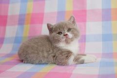 Великобританский котенок 2-тона Стоковое фото RF