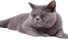 великобританский кот изолировал shorthair Стоковое Изображение RF