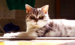 Великобританский кот коротких волос под солнечным светом Стоковая Фотография RF