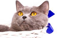 Великобританский кот на белой предпосылке Стоковые Изображения RF